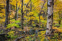 Tree Trunks and Forest Floor in Autumn, Smugglers Notch, Lamoille County, Vermont, USA Stock Photo - Premium Rights-Managednull, Code: 700-06465624