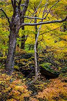 Trees and Boulder in Autumn Forest, Smugglers Notch, Lamoille County, Vermont, USA Stock Photo - Premium Rights-Managednull, Code: 700-06465625