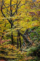 Tree Growing Sideways in Autumn , Smugglers Notch, Lamoille County, Vermont, USA Stock Photo - Premium Rights-Managednull, Code: 700-06465626