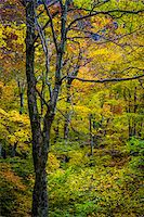 Bare Tree Amongst Lush Foliage in Autumn Forest, Smugglers Notch, Lamoille County, Vermont, USA Stock Photo - Premium Rights-Managed, Artist: R. Ian Lloyd, Code: 700-06465627