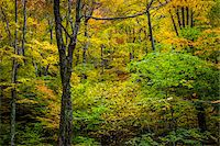 Bare Tree Amongst Forest Foliage in Autumn, Smugglers Notch, Lamoille County, Vermont, USA Stock Photo - Premium Rights-Managednull, Code: 700-06465628