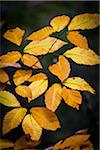 Close-Up of Yellow Autumn Leaves on Branch Stock Photo - Premium Rights-Managed, Artist: R. Ian Lloyd, Code: 700-06465643