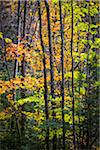 Close-Up of Forest Trees in Autumn, Moss Glen Falls Natural Area, C.C. Putnam State Forest, Lamoille County, Vermont, USA Stock Photo - Premium Rights-Managed, Artist: R. Ian Lloyd, Code: 700-06465649