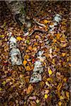 Fallen Birch Tree Logs with Autumn Leaves on Forest Floor Stock Photo - Premium Rights-Managed, Artist: R. Ian Lloyd, Code: 700-06465652
