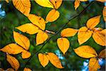 Close-Up of Yellow Autumn Leaves on Tree Branch Stock Photo - Premium Rights-Managed, Artist: R. Ian Lloyd, Code: 700-06465653