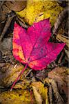 Close-Up of Red Maple Leaf on Forest Floor Amongst Brown Decomposing Leaves Stock Photo - Premium Rights-Managed, Artist: R. Ian Lloyd, Code: 700-06465658
