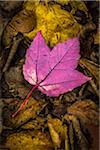 Close-Up of Backside of Red Maple Leaf on Forest Floor Amongst Brown Decomposed Leaves Stock Photo - Premium Rights-Managed, Artist: R. Ian Lloyd, Code: 700-06465659
