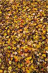 Autumn Leaves on Ground Stock Photo - Premium Rights-Managed, Artist: R. Ian Lloyd, Code: 700-06465665