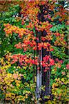 Close-Up of Tree with Red Autumn Leaves in Forest Stock Photo - Premium Rights-Managed, Artist: R. Ian Lloyd, Code: 700-06465668