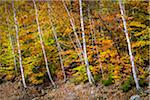 Birch Trees and Forest in Autumn, White Mountain National Forest, New Hampshire, USA Stock Photo - Premium Rights-Managed, Artist: R. Ian Lloyd, Code: 700-06465671