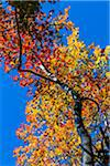Low Angle View of Colorful Tree in Autumn Against Blue Sky Stock Photo - Premium Rights-Managed, Artist: R. Ian Lloyd, Code: 700-06465723