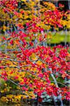 Close-Up of Vibrant Red Leaves on Tree Branch Stock Photo - Premium Rights-Managed, Artist: R. Ian Lloyd, Code: 700-06465739