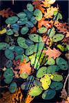 Looking Down on Oak Leaves and Lily Pads Floating on Water in Autumn Stock Photo - Premium Rights-Managed, Artist: R. Ian Lloyd, Code: 700-06465832