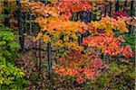 Fall Leaves in Forest Stock Photo - Premium Rights-Managed, Artist: R. Ian Lloyd, Code: 700-06465835