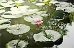 Water lilies, Spain. Stock Photo - Premium Royalty-Free, Artist: CulturaRM, Code: 6102-06470621