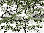Low angle view of rowan tree branches Stock Photo - Premium Royalty-Free, Artist: Atli Mar Hafsteinsson, Code: 6102-06471093