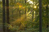 streaming - Sunbeams through Beech Forest in Autumn with Morning Mist, Spessart, Bavaria, Germany Stock Photo - Premium Royalty-Freenull, Code: 600-06471318