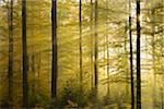 Sunbeams through Beech Forest with Morning Mist in Autumn, Spessart, Bavaria, Germany Stock Photo - Premium Royalty-Free, Artist: Michael Breuer, Code: 600-06471319