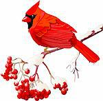  Red Cardinal bird sitting on mountain ash branch Stock Photo - Royalty-Free, Artist: Dazdraperma                   , Code: 400-06478951