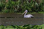 Dalmatian Pelican (Pelecanus crispus) in the Danube Delta, Romania Stock Photo - Royalty-Free, Artist: porojnicu                     , Code: 400-06479368