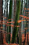 Hornbeam tree in forest - red autumn leaves. Stock Photo - Royalty-Free, Artist: Pietus                        , Code: 400-06480194
