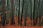 Mixed autumn forest after the rain - fallen red leaves. Stock Photo - Royalty-Free, Artist: Pietus                        , Code: 400-06480196