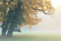 fog (weather) - Oak Tree with Autumn Foliage in Forest Glade in Morning Haze, Bavaria, Germany Stock Photo - Premium Royalty-Freenull, Code: 600-06486003