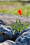 Red Solitary Poppy Flower (Papaveraceae) on a Stone Wall by an Olive Orchard in Springtime, Fasano, Province of Brindisi, Apulia, Italy Stock Photo - Premium Royalty-Free, Artist: F. Lukasseck, Code: 600-06486103
