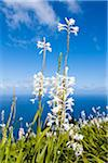 Madonna Lily (Lilium candidum) on the Coast Above the Atlantic Ocean, Arco de Sao Jorge, Santana, Madeira, Portugal Stock Photo - Premium Royalty-Free, Artist: F. Lukasseck, Code: 600-06486133