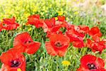 Red Poppies (Papaver Rhoeas), Costa Smeralda, Sardinia, Italy Stock Photo - Premium Royalty-Free, Artist: F. Lukasseck, Code: 600-06486197