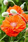 Red Poppy Flowers (Papaver), Germany Stock Photo - Premium Royalty-Free, Artist: F. Lukasseck, Code: 600-06486211