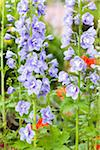 Lavender Blue Delphinium (Delphinium) in a Garden, Germany Stock Photo - Premium Royalty-Free, Artist: F. Lukasseck, Code: 600-06486217