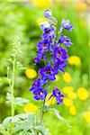 Garden Delphinium Hybrid, Blue Larkspur in a Garden, Germany Stock Photo - Premium Royalty-Free, Artist: F. Lukasseck, Code: 600-06486224