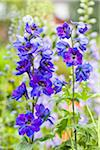 Garden Delphinium Hybrid, Blue Larkspur in a Garden, Germany Stock Photo - Premium Royalty-Free, Artist: F. Lukasseck, Code: 600-06486227