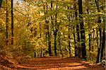 Trail through European Beech (Fagus sylvatica) Forest in Autumn, Upper Palatinate, Bavaria, Germany Stock Photo - Premium Royalty-Free, Artist: David & Micha Sheldon, Code: 600-06486316