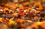 Close-up of European Beech (Fagus sylvatica) Leaves on Forest Floor in Autumn, Upper Palatinate, Bavaria, Germany Stock Photo - Premium Royalty-Free, Artist: David & Micha Sheldon, Code: 600-06486317