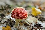 Close-up of Fly Agaric (Amanita muscaria) on Forest Floor, Neumarkt, Upper Palatinate, Bavaria, Germany Stock Photo - Premium Royalty-Free, Artist: David & Micha Sheldon, Code: 600-06486341