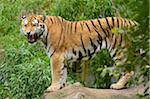 Siberian Tiger Growling (Panthera tigris altaica) Stock Photo - Premium Rights-Managed, Artist: David & Micha Sheldon, Code: 700-06486505