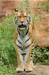 Portrait of Siberian Tiger (Panthera tigris altaica) Stock Photo - Premium Rights-Managed, Artist: David & Micha Sheldon, Code: 700-06486506