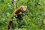 Red Panda in Tree (Ailurus fulgens) Stock Photo - Premium Rights-Managed, Artist: David & Micha Sheldon, Code: 700-06486507