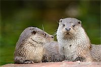 Two European Otters (Lutra lutra) Lying on Rock Stock Photo - Premium Rights-Managednull, Code: 700-06486524