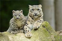 Snow Leopard (uncia uncia) Cub with Mother Stock Photo - Premium Rights-Managednull, Code: 700-06486529