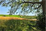 Oak Tree and Shadow in Summer, Pienza, Val d'Orcia, Province of Siena, Tuscany, Italy Stock Photo - Premium Royalty-Free, Artist: Raimund Linke, Code: 600-06486637