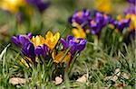 Close-Up of Crocuses in Early Springtime, Franconia, Bavaria, Germany Stock Photo - Premium Royalty-Free, Artist: David & Micha Sheldon, Code: 600-06486651