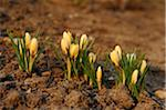 Close-Up of Crocuses in Early Springtime, Franconia, Bavaria, Germany Stock Photo - Premium Royalty-Free, Artist: David & Micha Sheldon, Code: 600-06486674