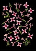 Bouvardia flowers on black background Stock Photo - Premium Royalty-Freenull, Code: 622-06486693