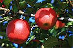 Red apples Stock Photo - Premium Royalty-Free, Artist: AWL Images, Code: 622-06486955