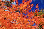 Red maple leaves Stock Photo - Premium Royalty-Free, Artist: AWL Images, Code: 622-06486959