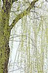 Willow tree Stock Photo - Premium Royalty-Free, Artist: Raymond Forbes, Code: 622-06487335