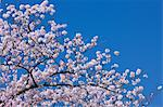 Cherry blossoms and blue sky Stock Photo - Premium Royalty-Free, Artist: AWL Images, Code: 622-06487422